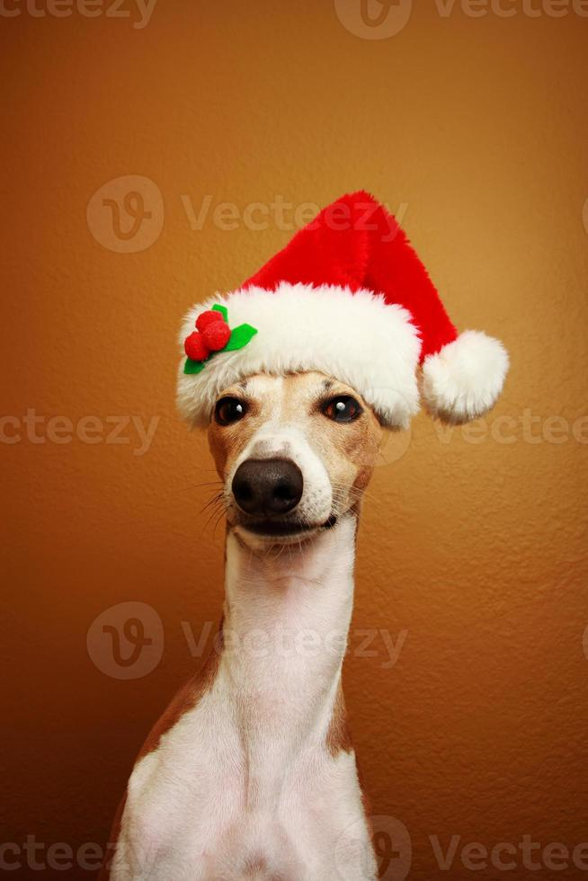 Italiaanse windhond Kerstman foto