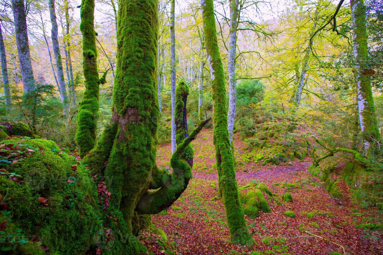 herfst selva de irati beuken jungle in Navarra Pyreneeën Spanje foto
