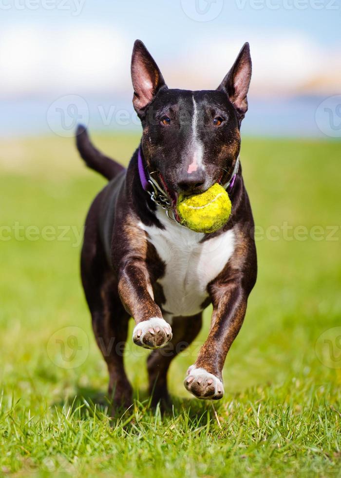 Engelse bull terrier-hond die een bal draagt foto