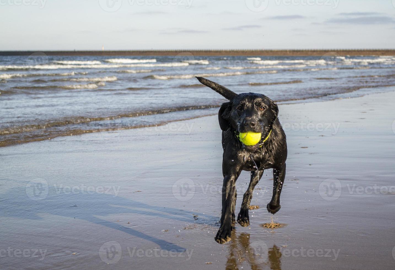 zwarte labrador apporterende bal langs het strand foto