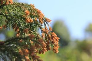 allergie voor cederpollen foto