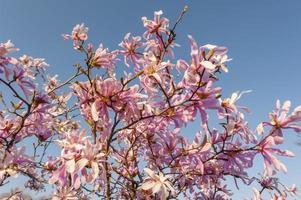 prachtige magnolia bloeit in het voorjaar foto