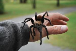 tarantula bij de hand foto
