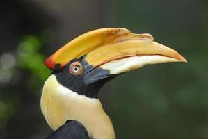 neushoornvogel hoofd