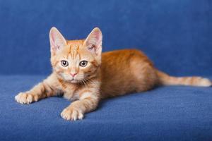 rode kitten op blauwe achtergrond foto