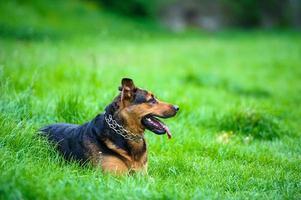 gelukkige hond op groen gras foto