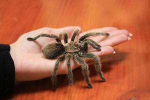 hand met een tarantula foto