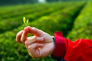 hand met groene thee blad
