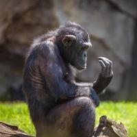 portret van een chimpansee foto