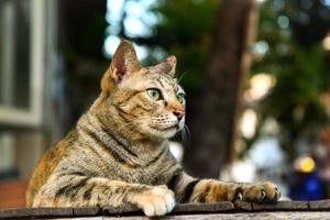 gestreepte bruine kat