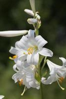 enkele stengel met bloeiende bloemen van witte lilium