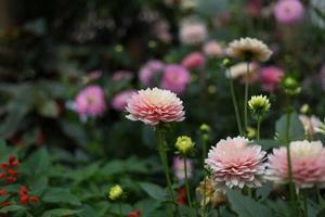 roze dahlia met groen blad in de achtergrond