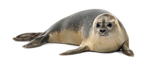 8 maanden oude zeehond (phoca vitulina) die alleen ligt foto