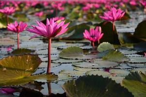 de zee van roze lotus, thailand