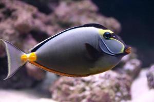 elegante eenhoornvis in aquarium foto