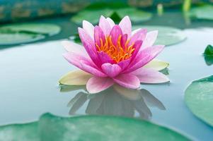 mooie waterlelie of lotusbloem in een vijver foto