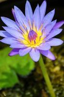 paarse lotusbloem (nymphaea nouchali) foto