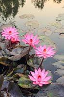 roze lotus foto
