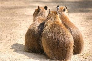 capibara (hydrochoerus hydrochaeris) is het grootste knaagdier