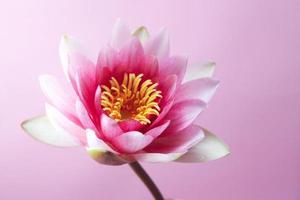 waterlelie, lotus op roze
