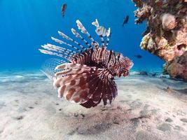 koraalduivel foto