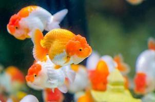goudvis foto