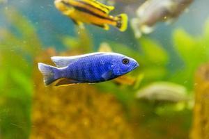 malawi cichliden. vis van het geslacht sciaenochromis foto