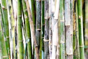 bamboe stengels foto