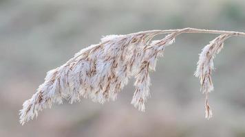 bevroren stengel