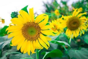 zonnebloemenclose-up op het gebied van de landbouwer foto
