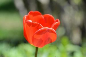 een rode tulp op steel. foto