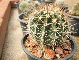 cactus in pot foto