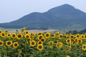 grote en heldere zonnebloemen op het veld. foto