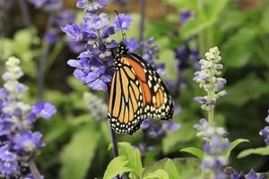 vlinders en bloemen foto
