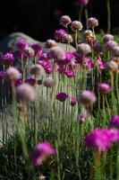 roze bloemen foto