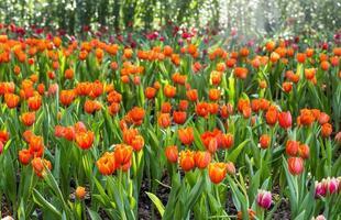 oranje tulp bloem foto