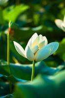 witte lotusbloem
