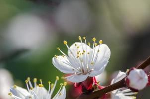 abrikoos bloemen foto