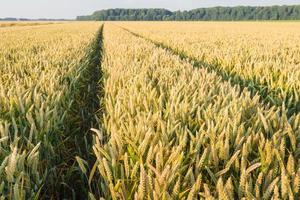 rijpende tarwe in een groot maïsveld foto