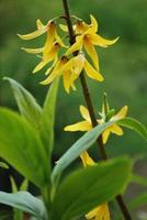 forsythia bloemen foto
