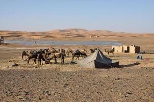 kamelen in de oase, de Saharawoestijn foto