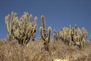 cactussen in de woestijn