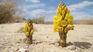 woestijn bloei foto