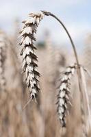 rijpe korenaren op het veld foto