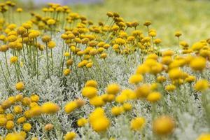 bloem van de Canarische eilanden. foto
