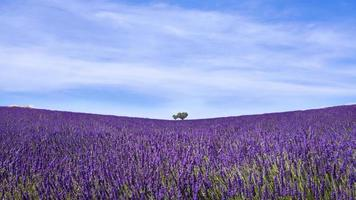 minimalistische landschapsmening van lavendelveld in de provence, frankrijk foto