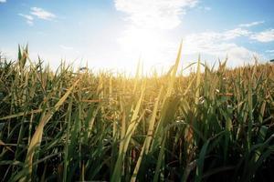 hoog grasland veld op een zomerse dag