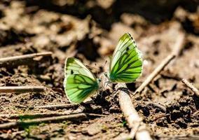 twee vlinders met groene vleugels ontmoeten elkaar op een tak foto