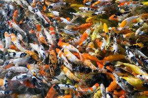 koi vissen zwemmen in een vijver
