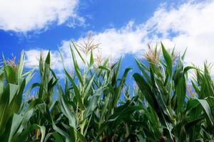 maïsplanten op blauwe hemel.